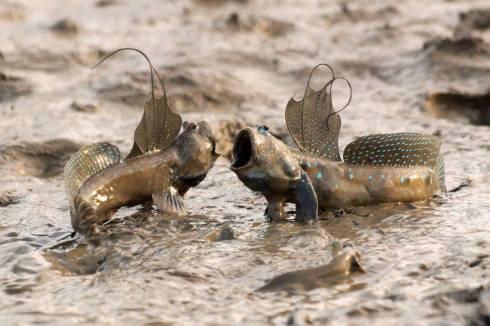 mudskippers